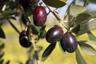 Xornada técnica sobre o presente e o futuro da cultivo da oliveira en Galicia