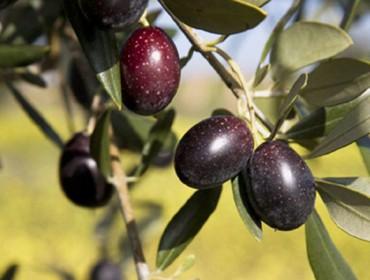 Curso sobre cultivo da oliveira en ecolóxico en Galicia