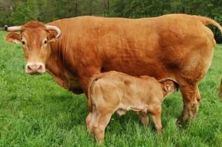 A Rubia Galega lidera os parámetros reprodutivos nas razas de vacas nutrices