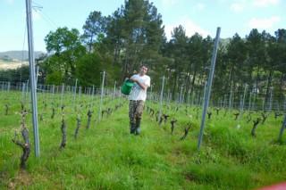 Viticultura ecolóxica en Galicia: menor produción pero viños con máis aromas e gradación