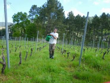 Menos do 2% do viñedo galego está en ecolóxico ou en produción integrada