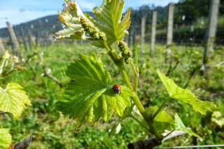 A UE publica as novas regras para autorizar plantacións de viñedo