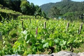 Galicia demanda unha distribución territorial das autorizacións para novos viñedos