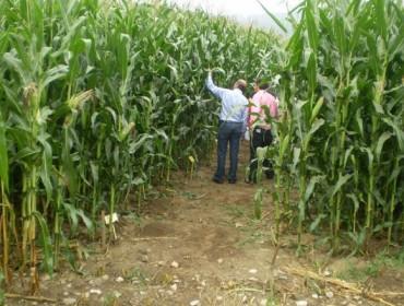 ¿Cuál es la mejor variedad de maíz forrajero en 2016?