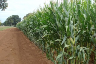 Investigadores gallegos avanzan en la mejora genética del maíz frente a las plagas