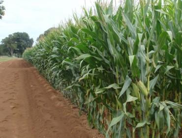 Ucoga lanza unha póliza específica para asegurar a colleita de millo forraxeiro