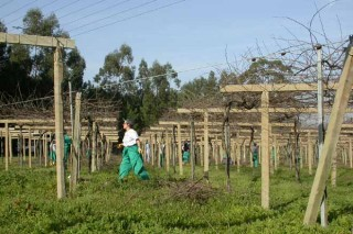 Recomendaciones para el cuidado del viñedo en estas fechas