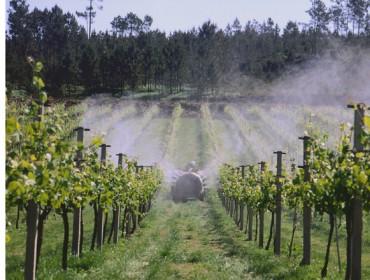 Control do mildiu en viñedo: ¿Que produtos naturais son eficaces?