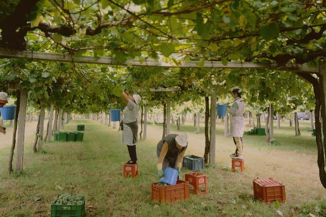 Esta vendimia se superarán en Galicia los 60 millones de kilosde uva, un 20% más que en 2014