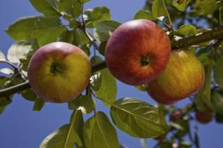 Cursos en Allariz sobre coidado das froiteiras e do viñedo