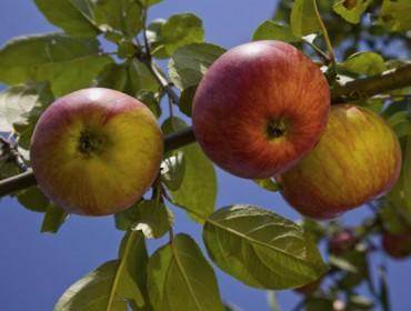 Consejos para la plantación del manzano