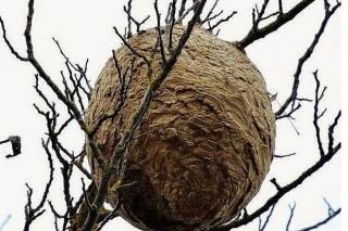 Comprométese a retirada dos niños de vespa asiática en menos de 5 días