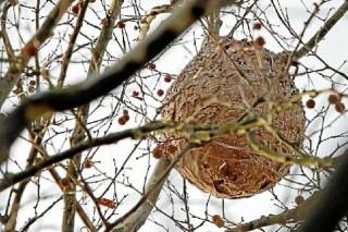 """Unións denuncia as """"importantes carencias"""" na loita contra a vespa velutina"""