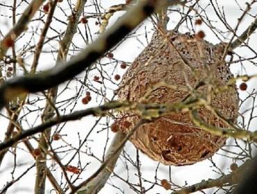 """Unións denuncia las """"importantes carencias"""" en la lucha contra la vespa velutina"""