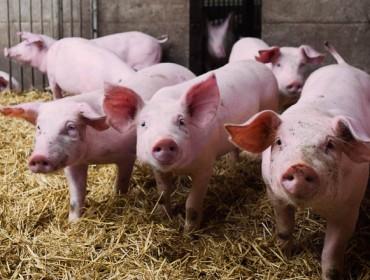 Subas nos leitóns nas mesas de prezos do porcino de Silleda