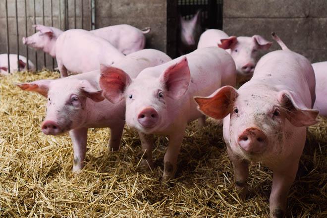 ¿Como logrou Holanda reducir nun 70% o uso de antibióticos en porcino?