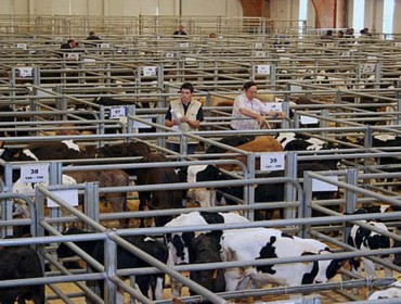 Suba dos becerros de recría de Frisón en Silleda e baixada dos de cruce e do vacún maior