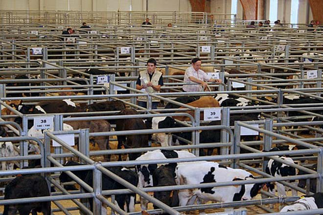 Descenso no prezo dos becerros en Silleda e suba do porcino