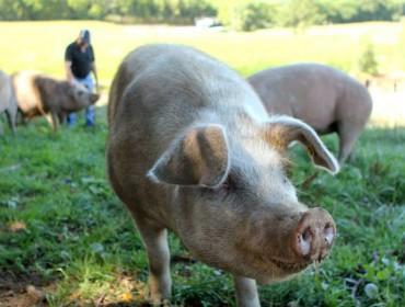 Nova baixada do porcino en Silleda