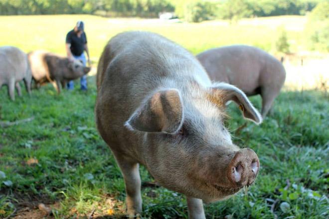 Medio Rural actualiza o censo de porcos para autoconsumo ante a ameaza da peste porcina africana