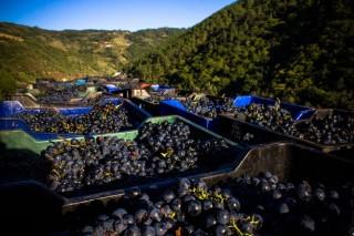 Esta vendima será obrigatorio declarar a uva e o viño nun rexistro estatal
