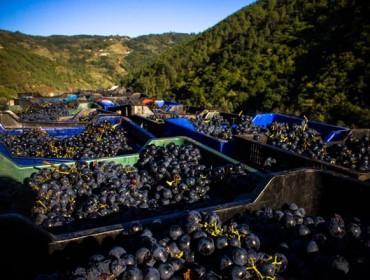 Unións valora positivamente o novo contrato homologado para a compra de uva