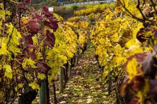 As atencións á viña no outono