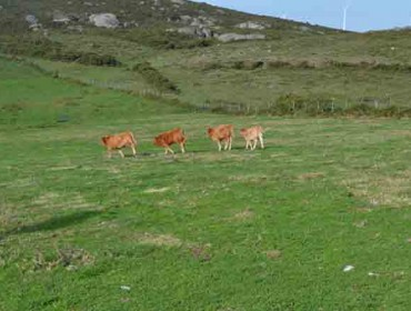 Xornada sobre produción de carne de vacún nas Mariñas coruñesas