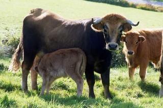 Biocoop, carne ecolóxica de razas autóctonas