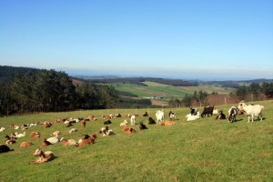 Rabaño de cabras de Beealia na Serra de Meira.