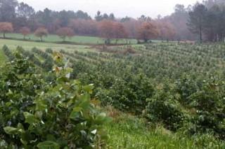 ¿Débense regular as novas plantacións de eucalipto en Galicia?