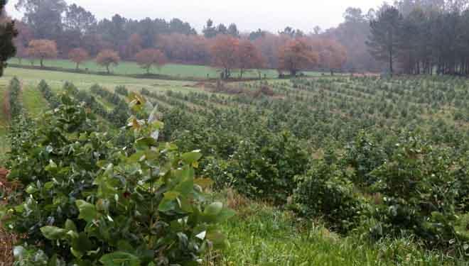 A prohibición de novas plantacións de eucalipto entra en vigor o 3 de xullo