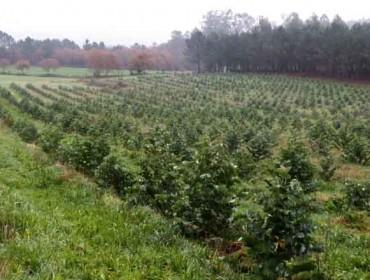 Portugal formalizou as restriccións ao eucalipto, un debate aberto en Galicia