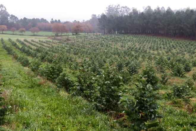La falta de demanda para el eucalipto nitens cuestiona su expansión en Galicia