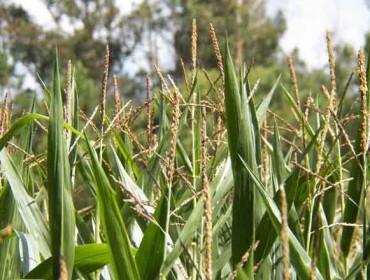 As perdas no millo pola seca poñen de manifesto o descoido dos regadíos en Galicia