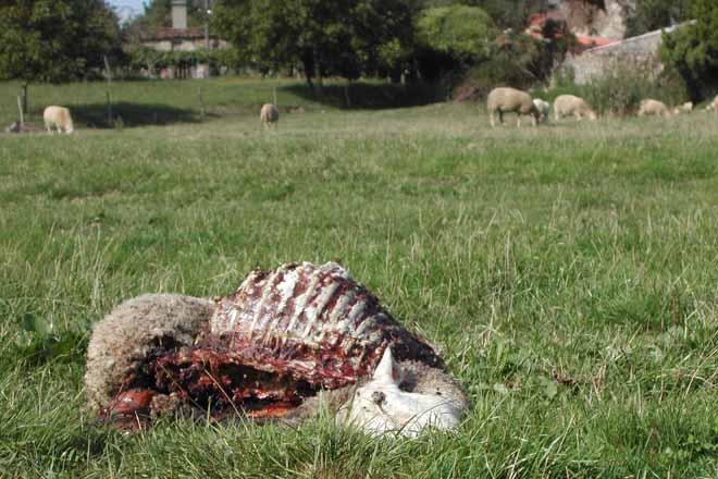 A posible prohibición da caza do lobo por danos indigna ás organizacións agrarias
