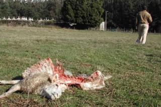 O Consello da Xunta aproba destinar 360.000 euros para compensar aos gandeiros polos ataques do lobo