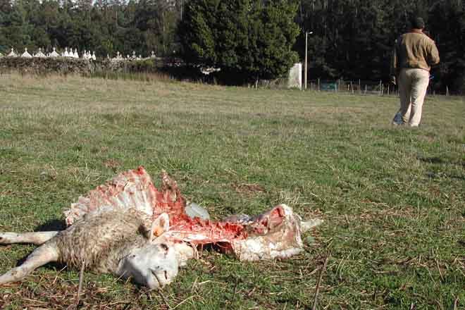 Nace O-Xan, un grupo de opinión para a xestión dialogada do lobo en Galicia