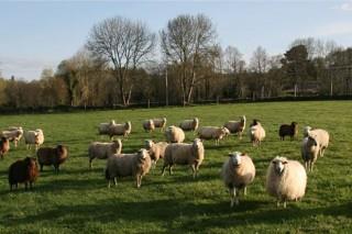 Coronavirus: O Ministerio anuncia axudas directas para os gandeiros de ovino e cabrún