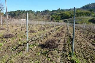 Recomendacións da Estación do Areeiro para o coidado do viñedo e das froiteiras en inverno