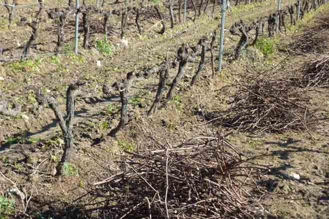 Recomendaciones básicas para la poda del viñedo