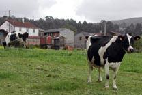Las organizaciones agrarias estudian movilizaciones por la caída del precio de la leche