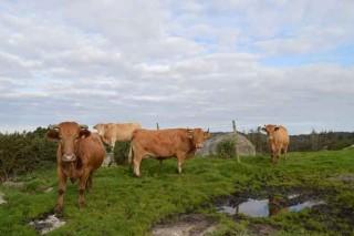 Galicia tiene el menor índice de España de tuberculosis en ganado vacuno