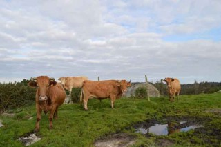 Galicia ten o menor índice de España de tuberculose en gando vacún
