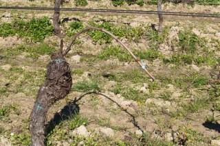 A poda da viña (II): por qué facela e regras xerais