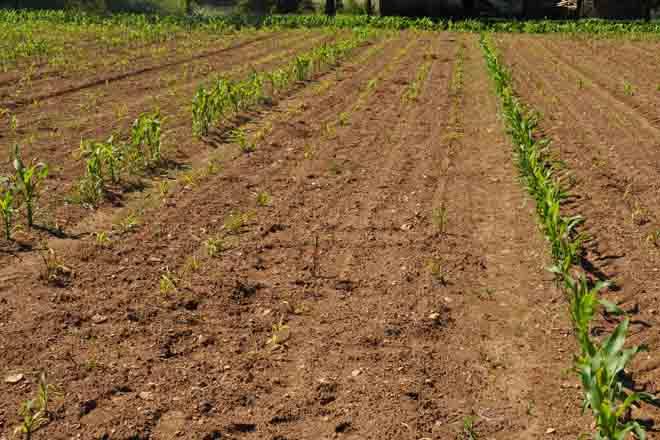 Sipcam presenta un novo insecticida de chan con efecto enraizante para o millo