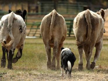 Curso  de adestramento de cans de pastoreo