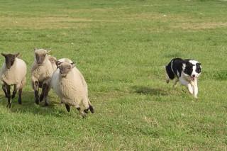 Curso gratuíto de adestramento de cans de pastoreo