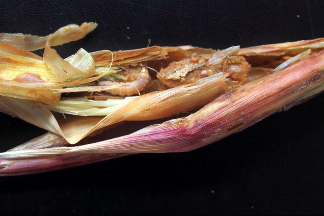 Encontran 21 xenes para protexer o millo fronte ao trade