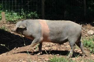 O cruce de Porco Celta con Duroc presenta a carne de máis valor nutricional e sabor